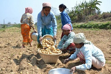 Farmers busy collecting Potato harvest from field near Purba Nougao village. TIWN Pic March 6
