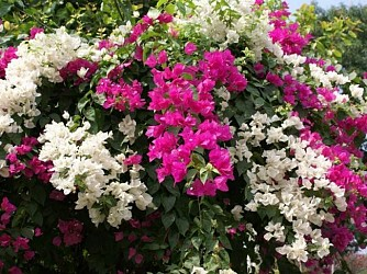 Bougainvillea flowers in Sabroom. TIWN Pic March 6