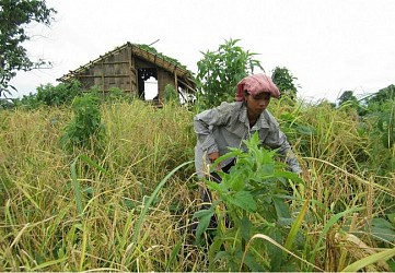 Wife of kidnapped(by terrorists) husband Juriham Tripura working in field to raise money at Gandacherra.TIWN Pic Aug 24