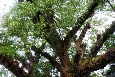 A view of a tree with wide branches at Agartala. TIWN Pic April 24