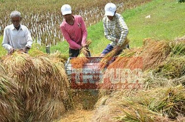 Farmers busy in paddy field at Lankamura. TIWN Pic May 5