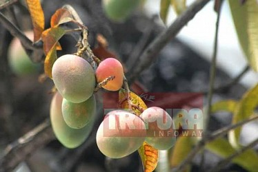 Mangoes hanging in a branch of a tree at RS Bhawan. TIWN Pic May 4