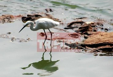 Crane eyeing to catch fish at palace compound. TIWN Pic May 4