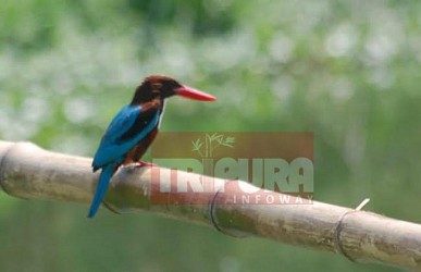Kingfisher resting on a bamboo at Belabor. TIWN Pic May 27