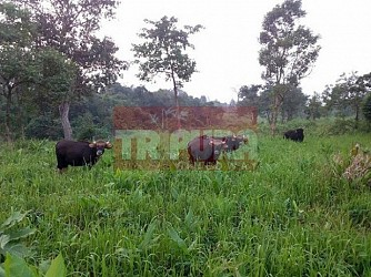 Bisons at Trishna Wildlife Santuary. TIWN Pic Feb 26