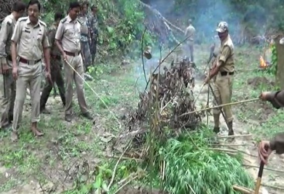 Ganja plantation destroyed in a house at Teliamura