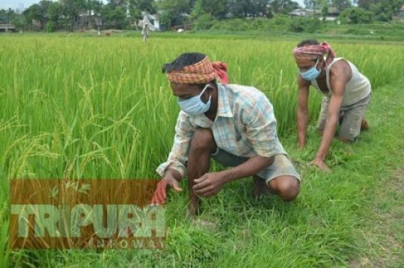 3.60 lakh Kg Rice purchased from Farmers by Tripura Govt